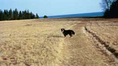 A black dog; Actual size=240 pixels wide